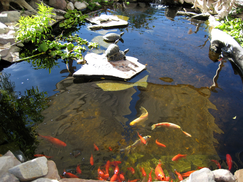 Above ground fish pond pics for In ground koi pond